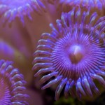 """""""Button polyp, its mouth is visible in the center."""" © Alex Lee 2013"""