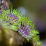 """""""Colony of much smaller button polyps."""" © Alex Lee 2013"""