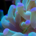 """""""Close-up a grape coral. The coral's mouth is at the bottom."""" © Alex Lee 2013"""